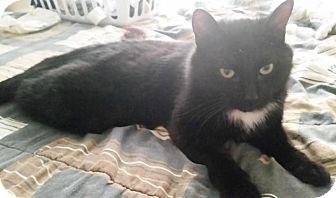 Domestic Shorthair Cat for adoption in Burlington, Ontario - Darwin