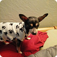 Chihuahua Mix Dog for adoption in Salem, Oregon - Misty