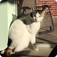 Calico Cat for adoption in Wichita Falls, Texas - Chander