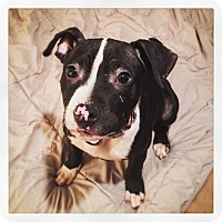 Adopt A Pet :: Scooter - West Allis, WI