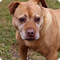 Pit Bull Terrier Dog for adoption in Asheville, North Carolina - Dinah