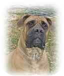 Bullmastiff Dog for adoption in Oviedo, Florida - Nova