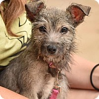 Adopt A Pet :: Izzy III - Dallas, TX