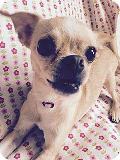Pug/Chihuahua Mix Dog for adoption in Lodi, California - Cricket