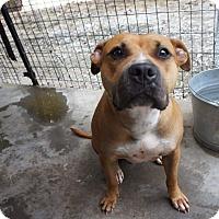 Pit Bull Terrier Mix Dog for adoption in Henderson, North Carolina - Rosetta