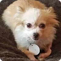 Adopt A Pet :: Honeybear - St Louis, MO