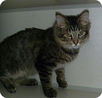 Domestic Mediumhair Cat for adoption in Hamburg, New York - Puffy Boy