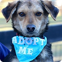 Dachshund/Yorkie, Yorkshire Terrier Mix Dog for adoption in West Grove, Pennsylvania - Bear