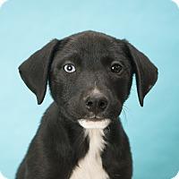 Adopt A Pet :: Clyde - Houston, TX