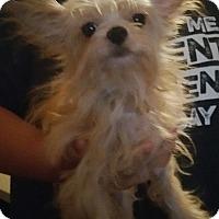 Adopt A Pet :: PORKY (pending) - Houston, TX