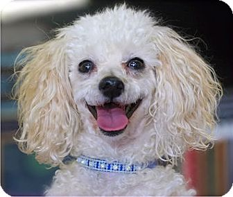 Poodle (Toy or Tea Cup) Dog for adoption in Mooy, Alabama - Zoe