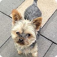 Adopt A Pet :: Timothy - New York, NY