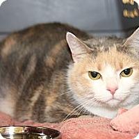 Calico Cat for adoption in Rochester, Minnesota - Mina