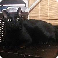 Adopt A Pet :: Teddy the cat - Royal Palm Beach, FL