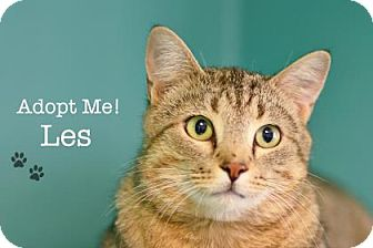 Domestic Shorthair Cat for adoption in West Des Moines, Iowa - Les
