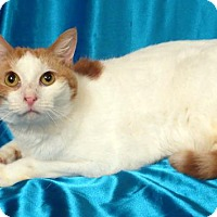 Adopt A Pet :: Caitrin (Declawed) - St. Louis, MO
