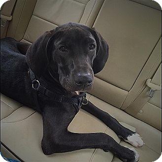 Great Dane/Hound (Unknown Type) Mix Puppy for adoption in Smithtown, New York - Hopper