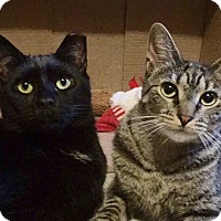 Bombay Cat for adoption in New York, New York - Loving SOPHOCLES&LOUISE