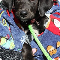 Labrador Retriever/Australian Shepherd Mix Puppy for adoption in New Oxford, Pennsylvania - Iverson