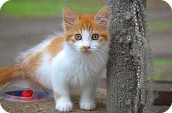 Domestic Shorthair Kitten for adoption in Santa Rosa, California - Stanley