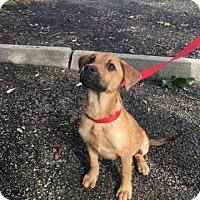 Adopt A Pet :: Zoey - Spring, TX