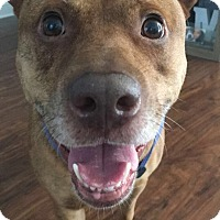 Adopt A Pet :: Scooby - Ocean Ridge, FL