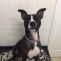 Adopt A Pet :: Betsy - St. Louis, MO