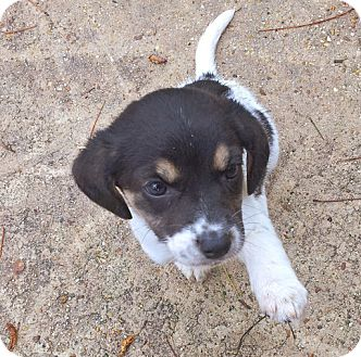 Rat Terrier Mix Puppy for adoption in Groton, Massachusetts - Elf