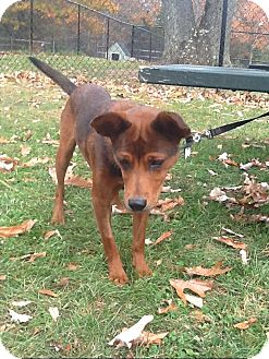 Basenji Mix Dog for adoption in Brooklyn, New York - Exceptional Esther