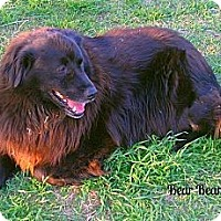 Adopt A Pet :: Bearbear - Eddy, TX