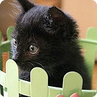 Adopt A Pet :: Han Solo - Chicago, IL