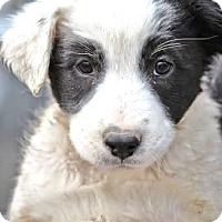 Adopt A Pet :: *Loretta - PENDING - Westport, CT