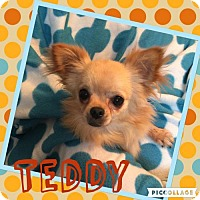 Adopt A Pet :: Teddy - Columbia, MD