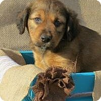 Adopt A Pet :: Dillon - Joliet, IL
