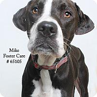 Adopt A Pet :: Mike (Foster) - Baton Rouge, LA