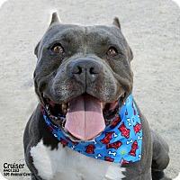 Adopt A Pet :: Cruiser - Santa Maria, CA