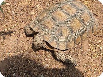 Tortoise for adoption in Las Vegas, Nevada - Sapphire