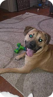 Boxer/Labrador Retriever Mix Dog for adoption in Willingboro, New Jersey - Shep