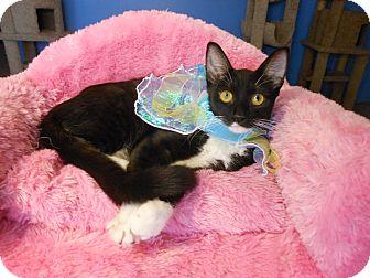 American Shorthair Kitten for adoption in Glendale, Arizona - Celeste