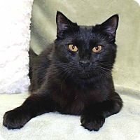 Domestic Mediumhair Cat for adoption in McCormick, South Carolina - Nita