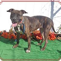 Boxer/Labrador Retriever Mix Dog for adoption in Marietta, Georgia - COCO