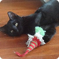 Adopt A Pet :: RONRON -Purring LAP KITTY&Frie - New York, NY