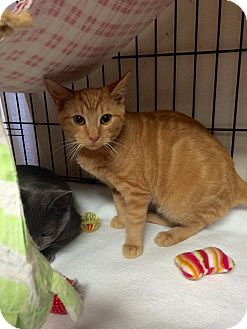 Domestic Shorthair Cat for adoption in Lunenburg, Massachusetts - Butter