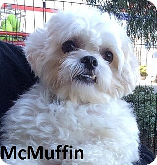 Poodle (Miniature)/Shih Tzu Mix Dog for adoption in Lake Forest, California - McMuffin
