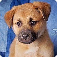 Australian Shepherd/Beagle Mix Puppy for adoption in Cincinnati, Ohio - Toby