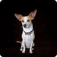 Adopt A Pet :: Nancy - Van Nuys, CA