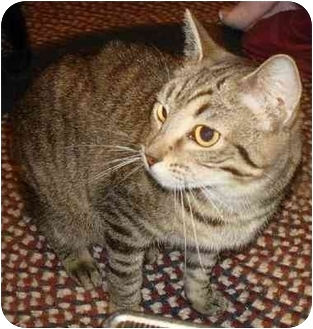 Domestic Mediumhair Cat for adoption in Indianapolis, Indiana - Enaya