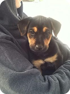 Labrador Retriever Mix Puppy for adoption in Torrance, California - KOBE