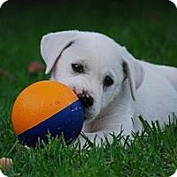 Adopt A Pet :: ABBIE - Torrance, CA