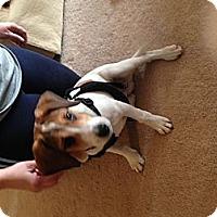 Adopt A Pet :: Chase - Alexandria, VA